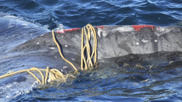 A humpback whale found stuck in ropes off Bondi Beach in May. Key resolutions protecting whales, such as mitigating the threat of getting entangled in fishing nets, were adopted at a meeting of the IWC on Wednesday.