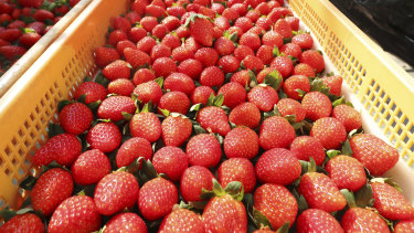 Japanese strawberries in Gamagori, Aichi Prefecture, in October last year.
