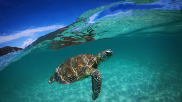 A green sea turtle at Lizard Island in Australia.