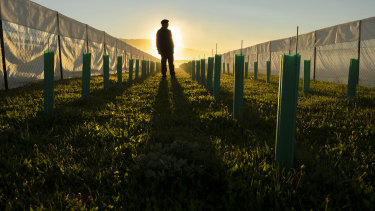 A winemaker stands inside an experimental vineyard in Coyhaique, Chile.