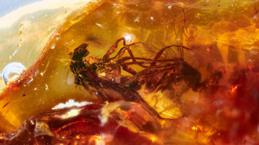 A rare example of 'frozen behaviour' in the fossil record of two mating, long-legged flies in clear, honey-coloured amber from Anglesea, Victoria, dated to about 41 million years ago.