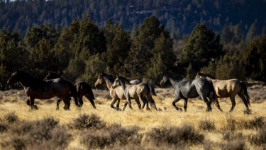 Wild horses roam in the Modoc National Forest in the High Desert near the city of Alturas in Northern California.