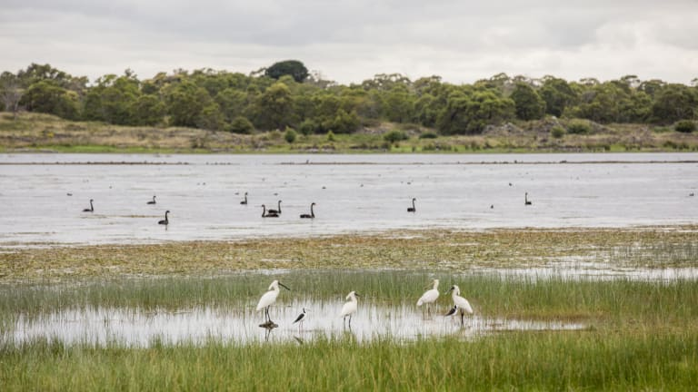 In 2010 Lake Condah was reflooded after being drained in the 19th century - now birds such as spoonbills, swans and pelicans are returning to the area.