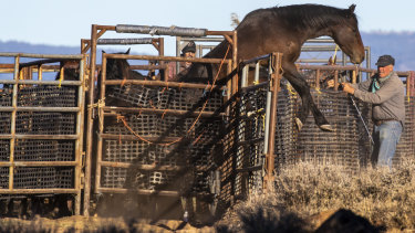 A wild horse, caught during round-up operations, tries to escape while awaiting transport to a temporary holding facility in the Devil's Garden section of the Modoc National Forest.