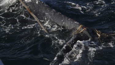 A humpback whale found stuck in ropes off Bondi Beach.