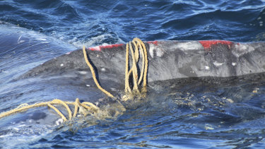 The exhausted humpback whale was found entwined in fishing rope off Bondi.