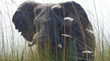 An elephant in Botswana's Okavango Delta allows viewers a close approach.