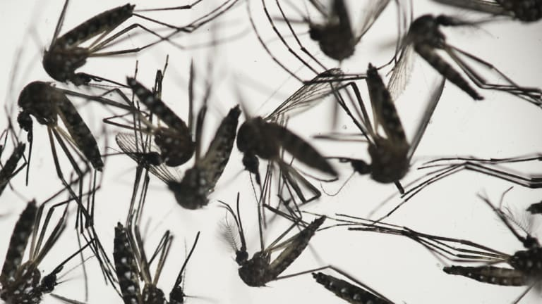 Aedes aegypti mosquitoes sit in a petri dish.