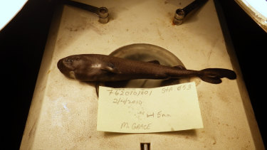 A pocket-sized pocket shark found in the Gulf of Mexico has turned out to be a new species, and one that squirts little glowing clouds into the ocean.