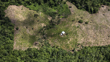 Coca fields seen from a Colombian police helicopter in May. Production of coca, the raw material for makingcocaine, has more than tripled in Colombia over the last five years.