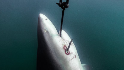 Green groups show photos of sharks left to die on Queensland drumlines