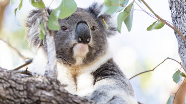 Koala populations in the Pilliga region of northern NSW have plunged amid heatwaves and drought.