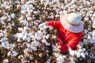 A farmer harvests cotton in a field in Hami, Xinjiang, China, last week.