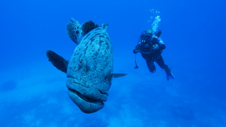 Cuddles the potato cod at Mermaid Reef off Broome.
