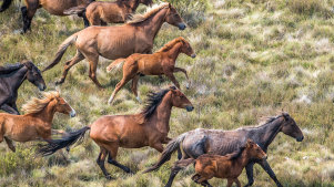Numbers of feral horses in the Kosciuszko National Park have been soaring while the NSW government puts off reduction efforts for another year.