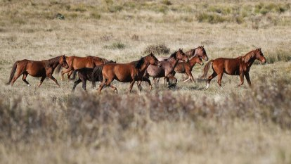 'Spiralling out of control': NSW failing to remove feral horses quick enough
