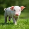 Pinjarra piggery's leaders jailed for smuggling in Danish pig semen