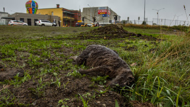 A dead roo near a busy intersection in Mernda.