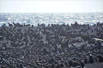 Tens of thousands of seals have made their home on the active volcano.