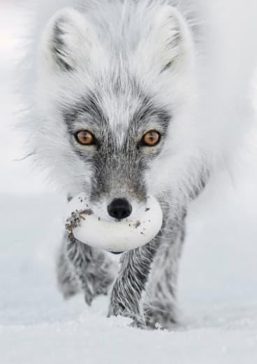 An Arctic fox with an egg.
