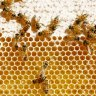 Honey prices to climb as supply dries up