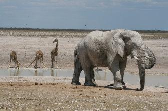 Elephants and a baby giraffe near Sossusvlei Mountain Lodge, Namibia.