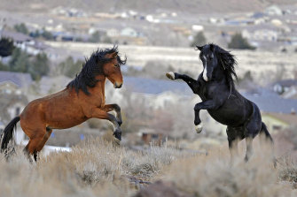 Young horses play while grazing near Reno, Nevada.