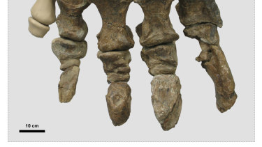 The preserved foot bones of Rhoetosaurus brownei.