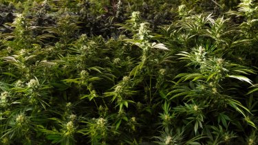 Peyton Eidson was allegedly the leader of a sophisticated marijuana operation.
