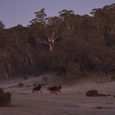 Wild brumbies spotted in the early morning on the Nunniong Plains.