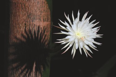 International viewers were transfixed by the once-a-year blooming of this rare quixotic cactus flower