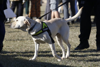 A police sniffer dog on duty at this year's Splendour in the Grass music festival near Byron Bay.
