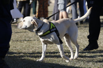 A police sniffer dog in action during Splendour In the Grass this year.