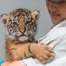 Sumatran tiger triplets earning their stripes at Taronga Zoo