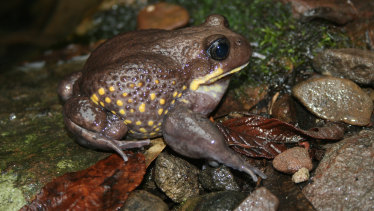 The giant burrowing frog.