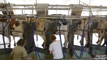 Students milking cows at Hurlstone Agricultural High school.
