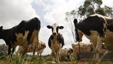 Cows graze in the Hurlstone Farm paddock.