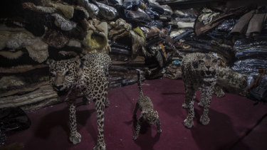 Stuffed cheetahs for sale in the basement of Haji Abdul Razzaq's store, Kabul Leather, on Chicken Street in Kabul.
