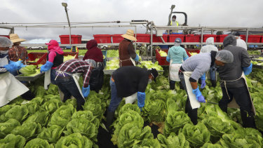 A conventional crew harvesting lettuce in California. Labour for this kind of work is drying up.
