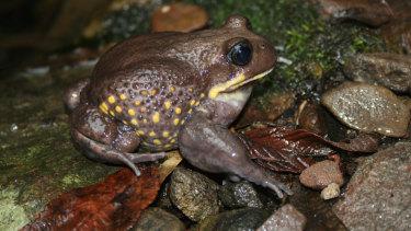 The giant burrowing frog.