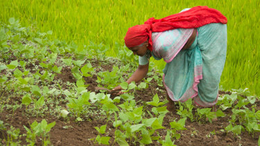 A woman works in a field of crops in Pune.