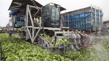 The BT-3 harvester at work in a lettuce field in Salinas, California. The machine uses high-pressure jets of water to cut off lettuce heads.