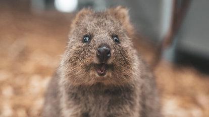 Koalas, quokkas make 100 threatened species list but hundreds more miss out