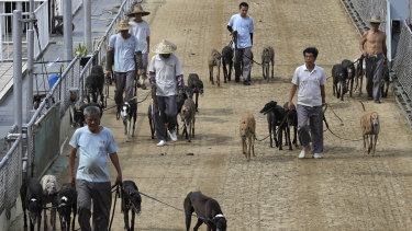 Dog handlers escort the greyhounds walking at the track of the Yat Yuen Canidrome in Macau.