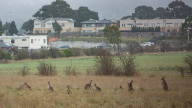 The mob of kangaroos stranded amid a bureaucratic row.