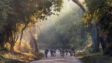 In this undated photo supplied by Gorogosa Media, a pack of wild dogs make their way down a road in Mozambique.