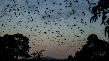 Bats fly over Bairnsdale in the days before the heatwave.