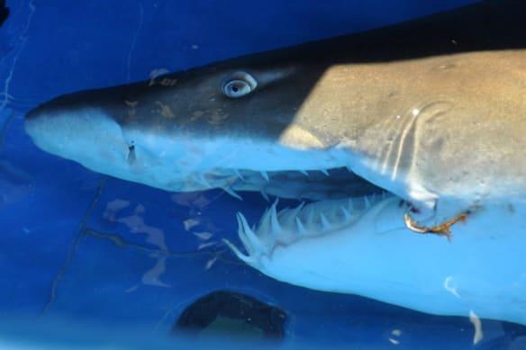 Grey nurse shark responsible for attack on WA bodyboarder