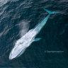 'Elusive' pygmy blue whales recorded 'off Sydney's back doorstep'