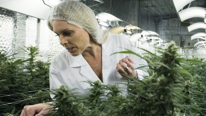 Blindfolds and fake names: Inside a 'top-secret' legal Australian cannabis grow room